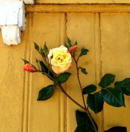Yellow rose in Gamlebyen