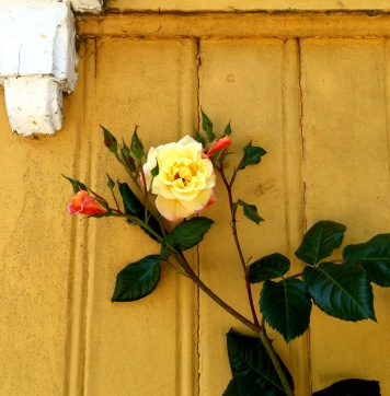 Yellow rose in Gamlebyen
